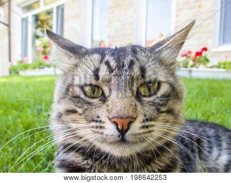 Cat sitting on green grass straight looking forward. House background