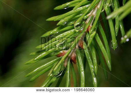 Sprig of pine after summer rain closeup. Beautiful in nature.