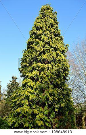 Northern white cedar Latin name Thuja occidentalis