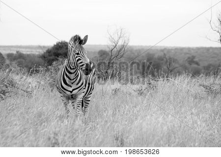A black and white photograph of a Zebra seen in the bushveld of the Kruger National Park in South Africa.