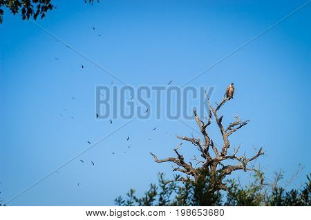 A vulture seen sitting on a high tree branch, with other vultures flying in the background, in the Kruger National Park in South Africa.