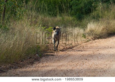 A hyena seen walking on a dirt road in the Kruger National Park in South Africa.