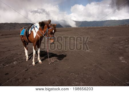 Brown white spotted horse used as attraction for tourists or for transportation to the top of Bromo mountain at Bromo tengger semeru national park East Java Indonesia