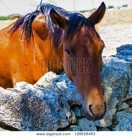 Portrait of a thoroughbred brown horse isolated