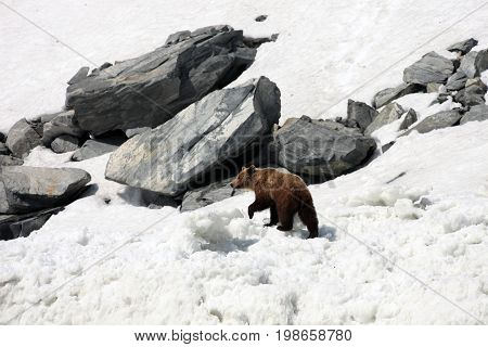 Brown bear walking on snow and ice among the rocks. Bear on the coast of the Okhotsk sea in spring. Far East Russia.