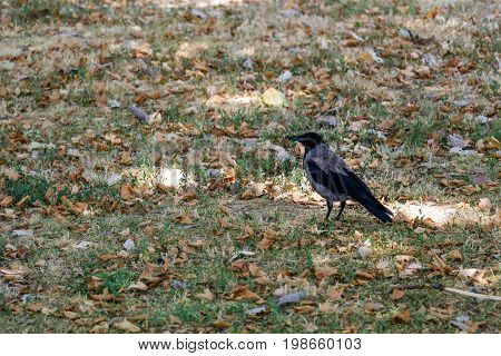Crow in the park standing in the green grass and fallen leaves