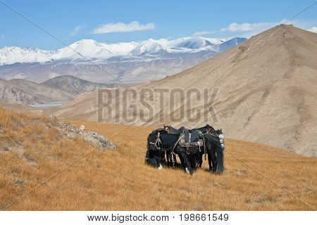 Saddled horses in mountains Tien-Shan. Four horse in harness on pasture in Kyrgyzstan.