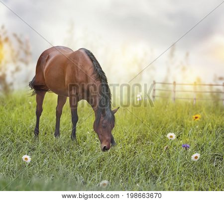 Brown  horse feeds in a field