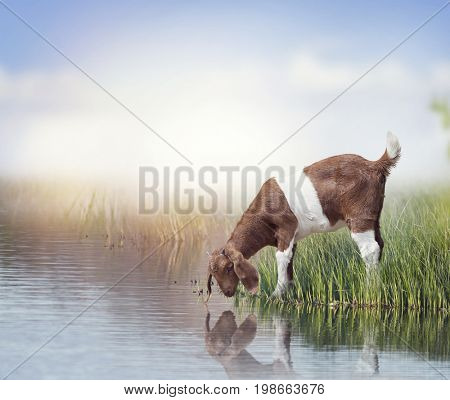 Young Boer Goat near pond