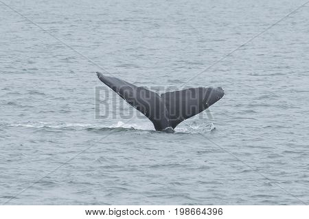 Whale flukes back view grey color entering the ocean