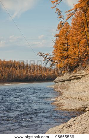 Bank of the river with the Siberian larch in autumn in the North of Evenkia. Krasnoyarsk region Russia