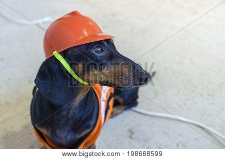 close up dog builder dachshund in an orange construction helmet sits on wires on a concrete gray background