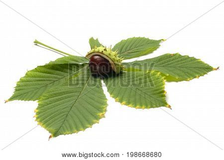Horse chestnut with thorns on the leaf isolated on white background