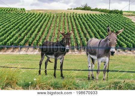 Two donkeys of different colors gray and black against the background of the grape field in France