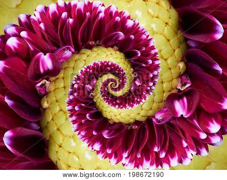 Magenta yellow flower spiral abstract fractal effect pattern background. Floral spiral abstract pattern fractal. Incredible red yellow flowers pattern round circle spirally incredible background