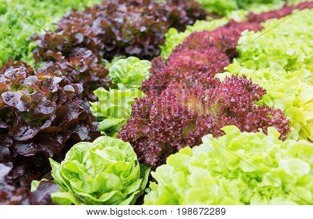 Plant organic hydroponic vegetable garden cultivation farm.