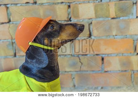close-up dog builder dachshund in an orange construction helmet at the brick wall background