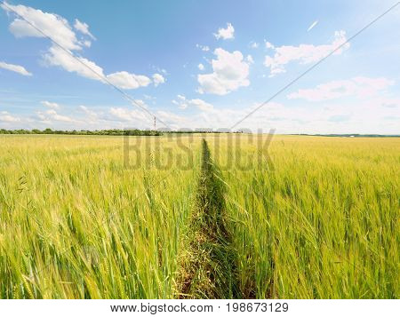 Afternoon Golden Field Of Barley. The Sun Above The Horizon Glazes Over A Young Barley Field