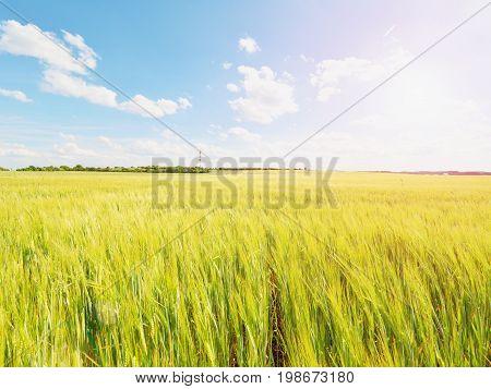 Shinning Young Yellow Barley Corns Growing In Field, Light At Horizon. Golden Sun Rays In Barley