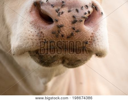Detail Of White Cow Muzzle. Annoying Flies Sit Or Run On The Cow Skin. White Cow Grazing I