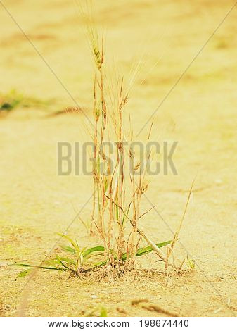 Poor wheat harvest. Dry cracked clay in corner of wheat field. Dusty ground with cracks and wilted flowers.