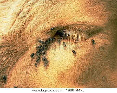 Detail Of White Cow Eye With Many Annoying Flies. Flies Sit Or Run Into Cow Eye. White Cow Sleep