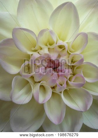 White chrysanthemum flower. Chrysanthemum. Floral background.  White flower. Chrysanthemum background. Summer background. Dahlia. Dahlia background.