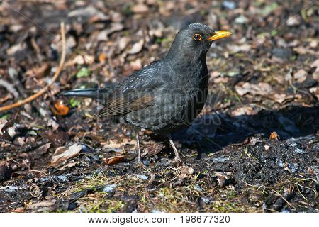 Blackbird sitting on the ground in the Park. The male Blackbird in spring plumage. Ornithology bird watching poster