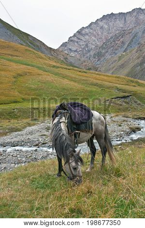 Horse gray grazing in a mountain pasture in the Tien Shan Kyrgyzstan