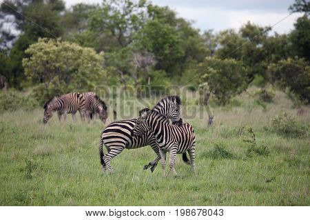 Stallions Zebra lash out bite the teeth of the enemy. Kruger Park nature reserve South Africa
