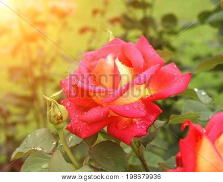 Beautiful red rose with raindrops on petals on sunny background
