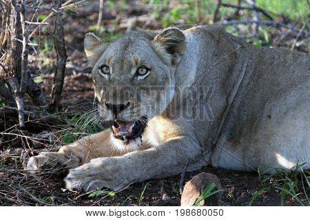 Reclining female African lion. Aggressive lioness. An adult lioness in Kruger Park South Africa