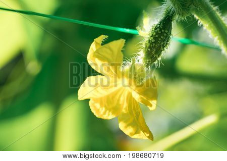 Tiny cucumber growing with yellow flower with dew on the vegetable