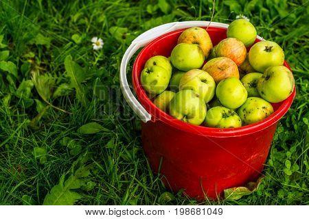 the apples broken in July in the sun