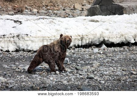 Brown bear is large stones on a background of ice. Bear on the coast of the Okhotsk sea in spring. Far East Russia.