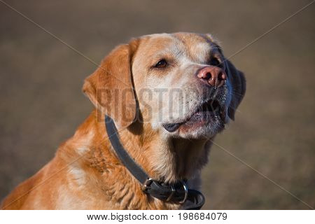 Dog Labrador Retriever fawn colour sits barks and growls in the direction.