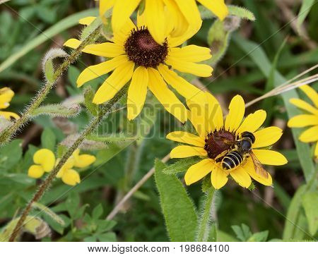 Lunch Time for a bee on a black eyed susan