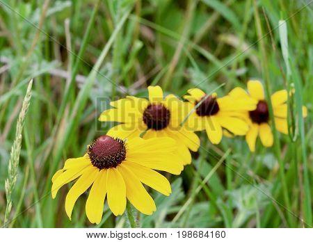 Black Eyed Susans in a line in a grassy field