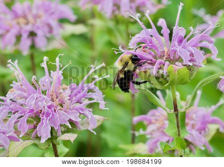Bumble Bee Reaching Hard to collect nectar