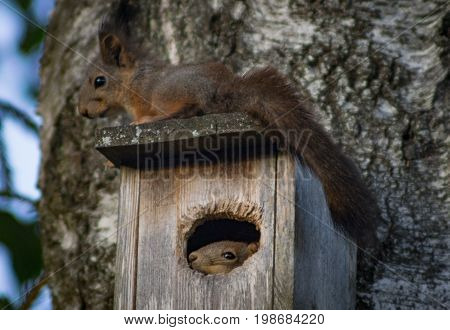 Two squirrels guarding a birds house. One squirrel on the roof and one insinde