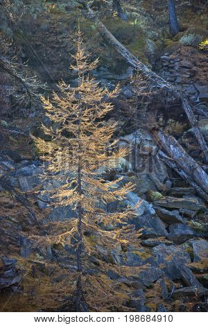 A young larch tree in autumn with yellow needles. Larch in the Northern taiga. Siberia Evenkia Russia