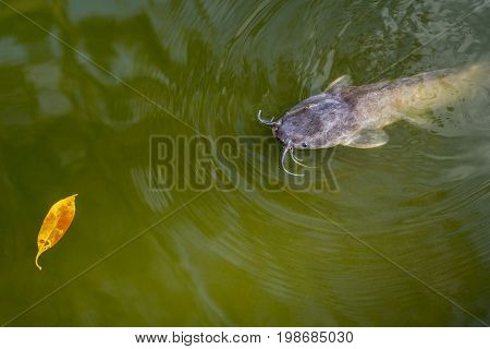 Catfish floated to the surface of green water and stares towards a yellow leaf. Clarias genus. An inhabitant of a temple pond of Wat Phai Lom in Trat city, Thailand
