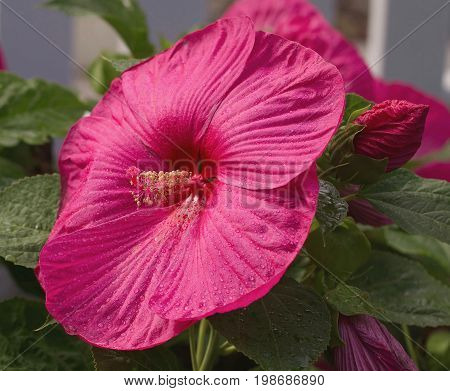 large Red Hibiscus flower with leaves closeup
