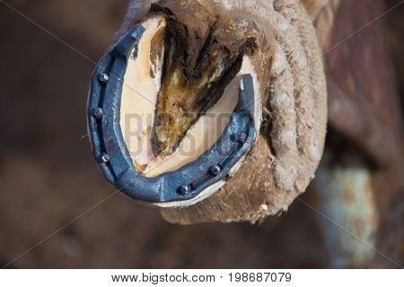 Horseshoe and horse's hoof after shoeing in the stall at the market in Kyrgyzstan. Cleaning forging stud nails