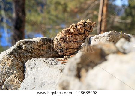 Pine cone on a stone in the woods