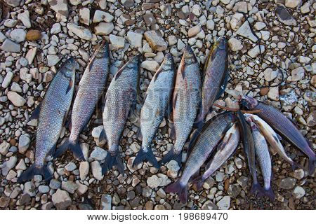 Fishing trophies - whitefish and grayling on the rocky banks of the river. Fishing on the river Moiero in Evenkia. Russia
