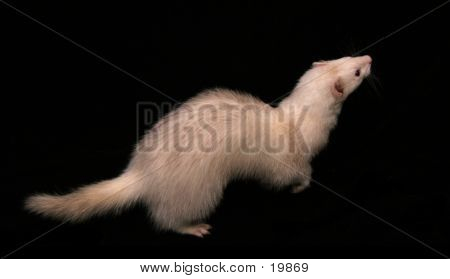light coloured male domestic ferret (5419) poster