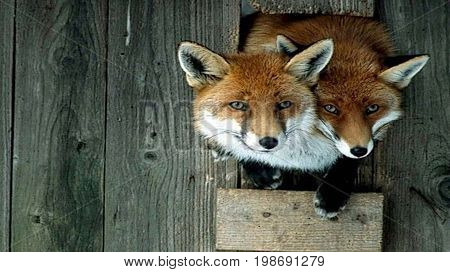 Fox, the most cunning and insidious furry predator, as well as a beautiful and cute animal.