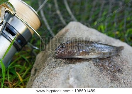 Close Up View Of Freshwater Bullhead Fish Or Round Goby Fish Just Taken From The Water On Gray Stone