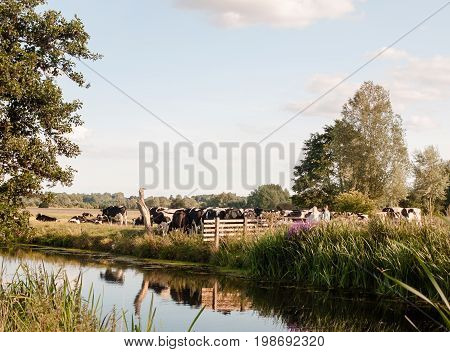A Group Of Cows Blocking A Country Walk Gate Family From Passing On A Summer's Day